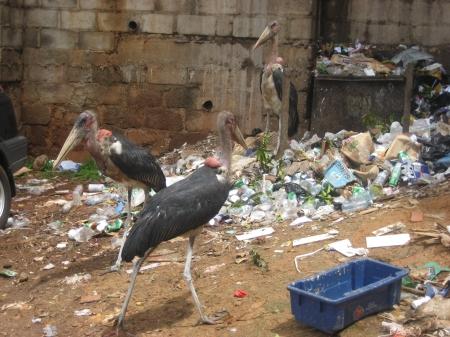 Marabou storks trash digging through trash in Kampala